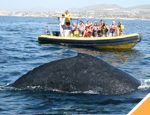 Gallery Whale Watching San Jose + Dolphin Royal Swim Plus